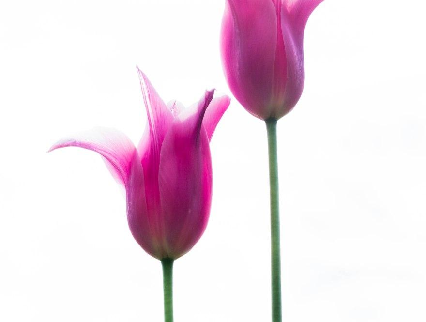 tulips_lesdeux_