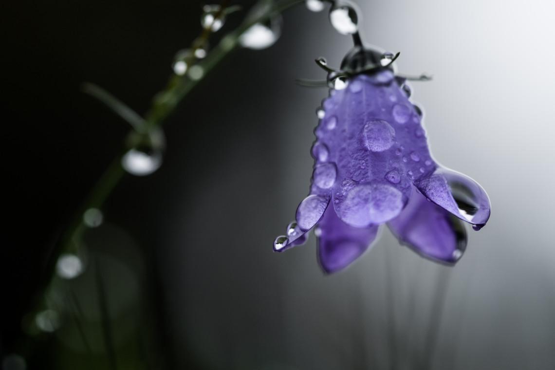 Glockenblume bellflower