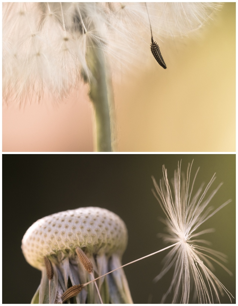 dandelion in two phases